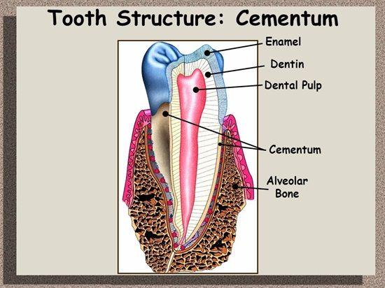 Difference Between Cementum Dentin Enamel ALVEOLAR BONE and Pulp