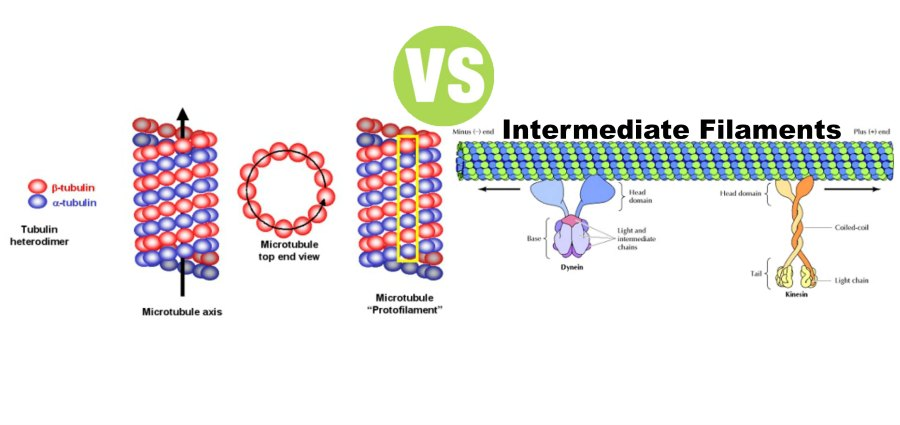 Difference Between Microtubules and Intermediate Filaments