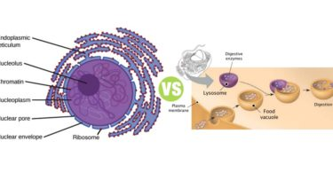 Difference Between Ribosomes and Lysosomes