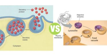 Difference Between Secretory Vesicles and Lysosomes
