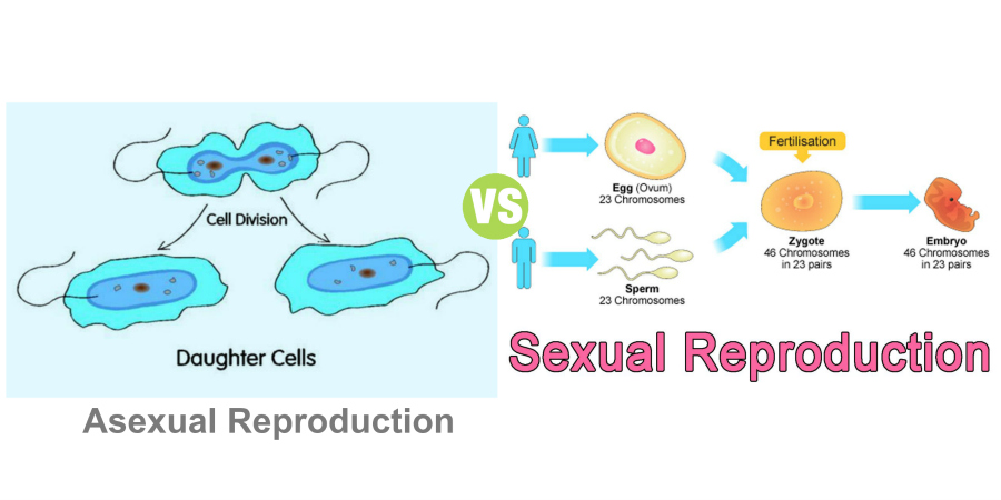 Difference Between Sexual and Asexual Reproduction