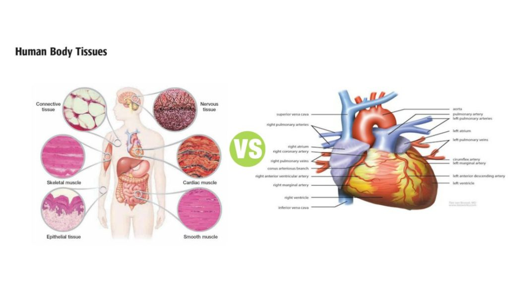 Difference Between Tissue and Organ