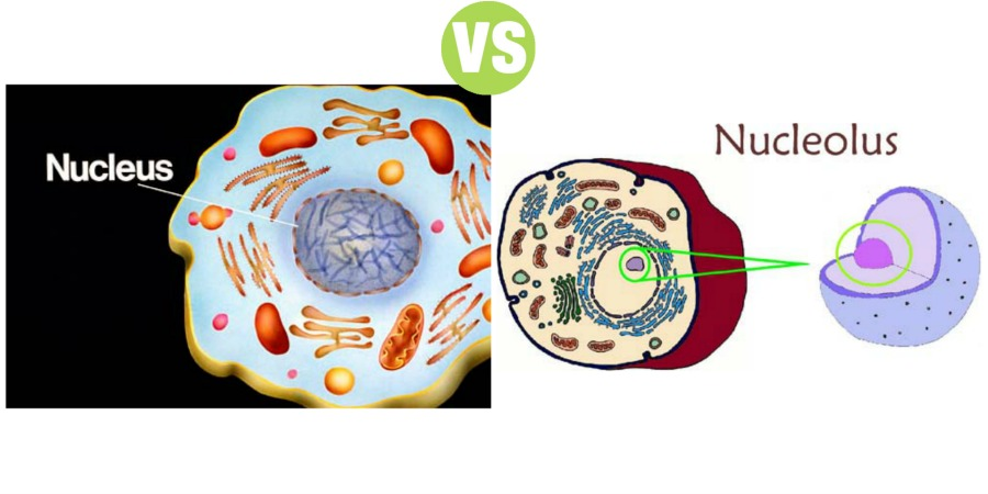 Difference Between Nucleus and Nucleolus