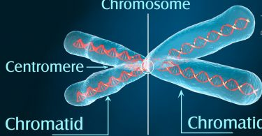 Difference between Chromosomes and Chromatids