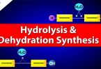 Difference Between Hydrolysis and Dehydration Synthesis